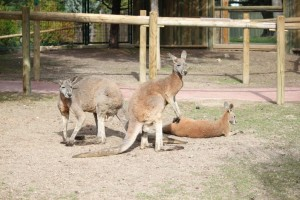 Red kangaroos, New Madrid attractions in Faunia
