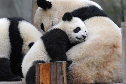 Panda Bears in the Madrid Zoo